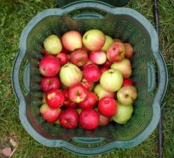 Äpfel im Abtropfkorb